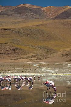 Laguna Colorada, Andes, Bolivia by Gabor Pozsgai