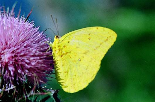 Large Orange Sulphur by Jill Pearson