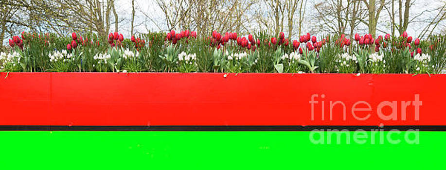 Large plant bowl with tulips by Compuinfoto