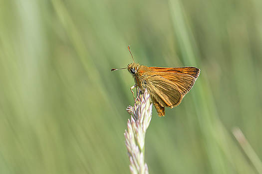 Large skipper - Ochlodes sylvanus by Jivko Nakev