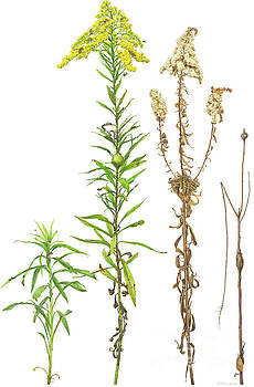 Late Goldenrod In Four Seasons With Fifty Associates by Emily Damstra