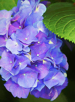 Lavender Blue Hydrangea Blossoms by Kathy Clark