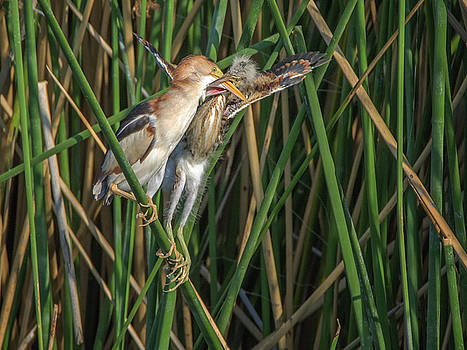 Least Bittern Adult and Juvenile by Tam Ryan