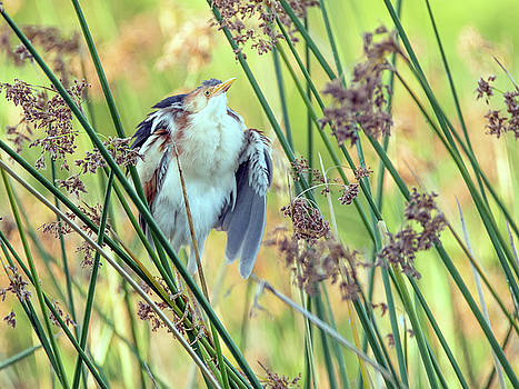 Least Bittern Fluffing Up 3877 by Tam Ryan