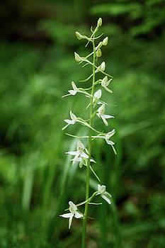 Lesser butterfly orchid by Jouko Lehto