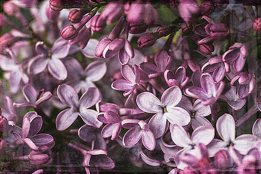 Lilacs by Cindi Ressler