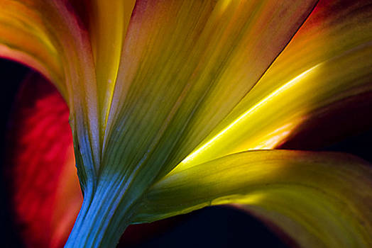 Lily Lumina by Shawn Young