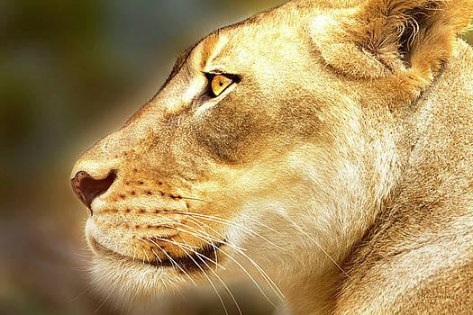 Lion by David Millenheft