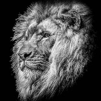 Lion Head BW by Cassidy LionHeart