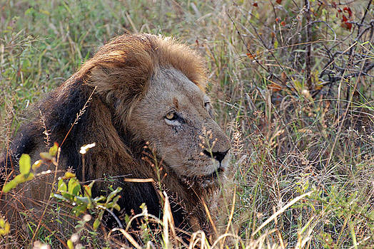 Harvey Barrison - Lion in the Brush Study Number Four
