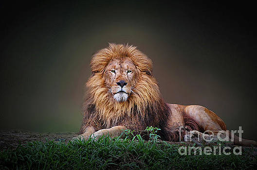 Lion King by Charuhas Images