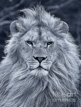 Lion portrait in black and white by Nick  Biemans