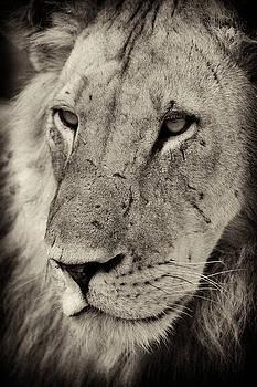 Lion portrait by Johan Elzenga
