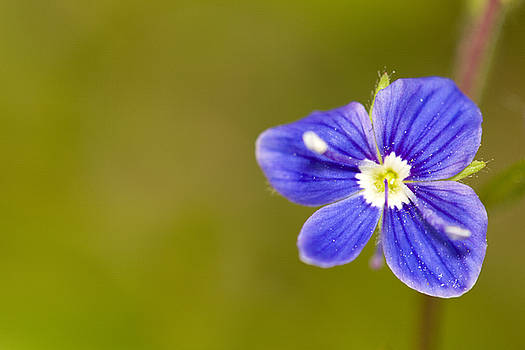 Little blue flower by Jouko Mikkola