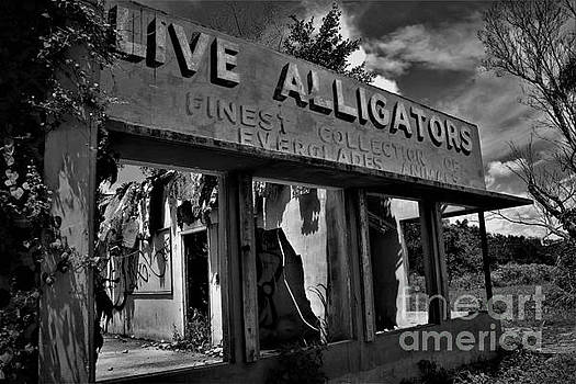 Live Alligators by Chuck Hicks