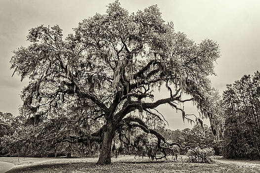 Live Oak In Spring by Phill Doherty