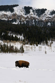 Reimar Gaertner - Lone Bison pausing from clearing snow to graze in Soda Butte Can