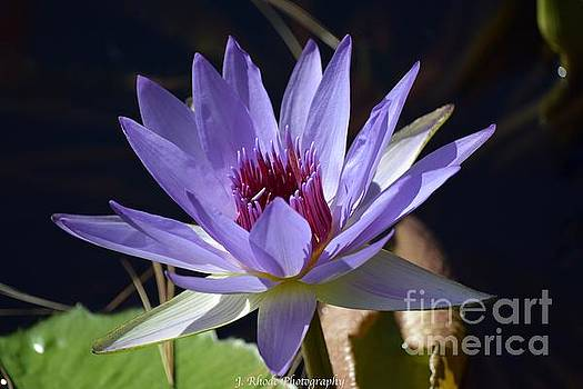 Lone Star Water Lily by Jeannie Rhode