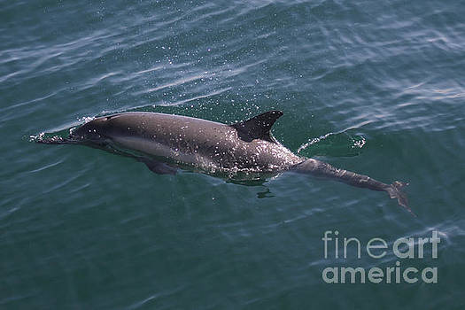 California Views Mr Pat Hathaway Archives - Long-Beaked Common dolphins in Monterey Bay 2015