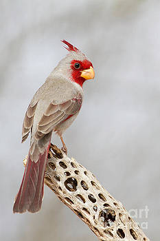 Pyrrhuloxia on cholla  by Bryan Keil