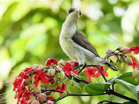 Lorten's Sunbird by Ajithaa Edirimane