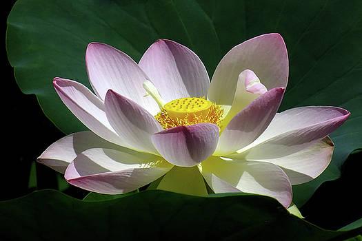 Lotus by Bill Morgenstern