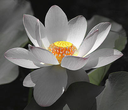 Lotus Blossom by Beth Fox
