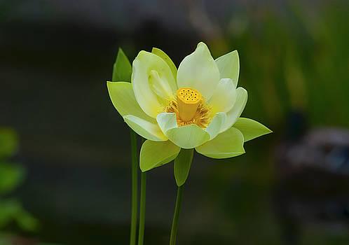 Lotus Flower by Dennis Reagan