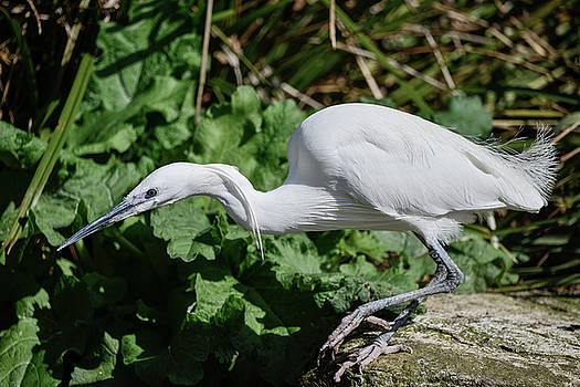 Lovely Little Egret bird gretta garzetta on riverbank in Spring  by Matthew Gibson