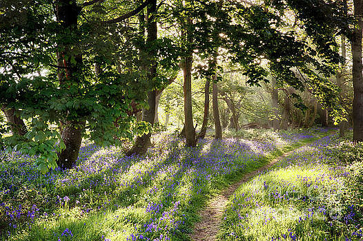 Magical path through bluebell forest with early morning sunrise by Simon Bratt Photography LRPS