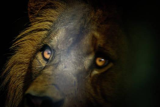 Male Barbery lion by Libor Vrska