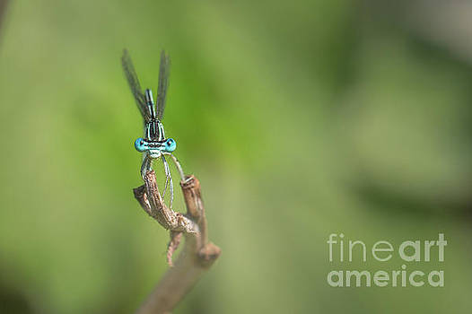 Male Blue featherleg - Platycnemis pennipes by Jivko Nakev