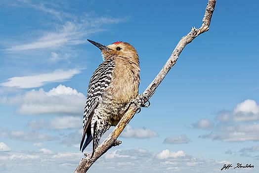 Male Gila Woodpecker by Jeff Goulden