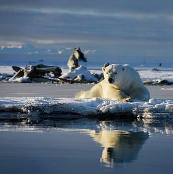 Reimar Gaertner - Male polar bear lying on Barter Island with reflection in Kaktov