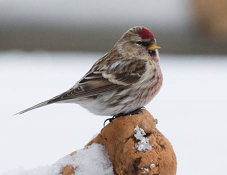 Dee Carpenter - Male Red Poll