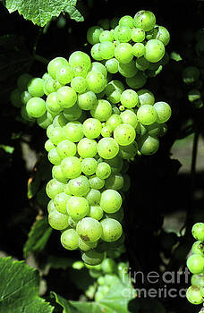 Mr Pat Hathaway Archives - Mature cluster of Chardonnay wine grapes on the vine on River Road