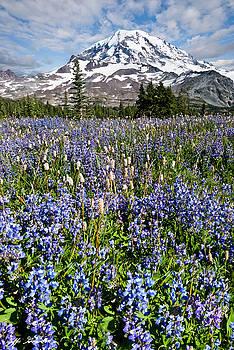 Meadow of Lupine Near Mount Rainier by Jeff Goulden