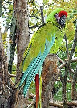 Cindy Treger - Military Macaw