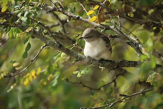 Mockingbird by Gerald Salamone