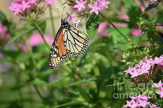 Monarch Butterfly by Ruth Housley