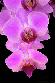 Moth Orchid by Tom Brownold