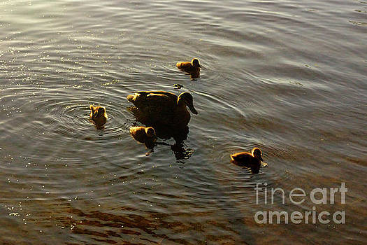 Mother Duck and Ducklings by Cassandra Buckley