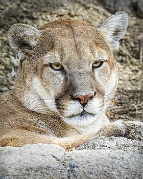 LeeAnn McLaneGoetz McLaneGoetzStudioLLCcom - Mountain Lion