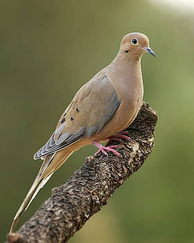 Mourning Dove by Doug Herr