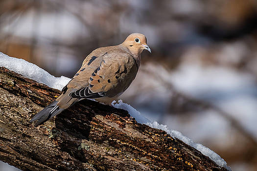 Mourning Dove by Gary E Snyder