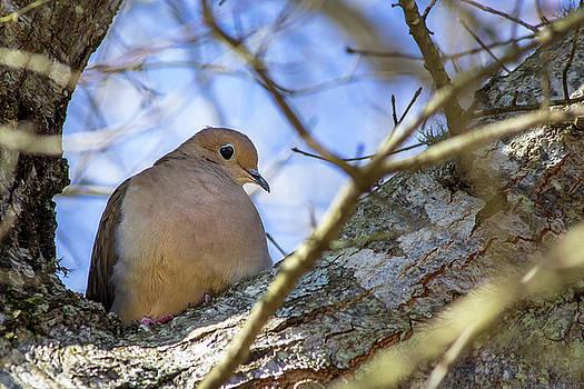 Mourning Dove by Randy Bayne