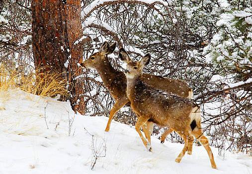 Steve Krull - Mule Deer in Heavy Snow in the Pike National Forest