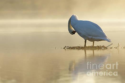 Mute Swan at sunrise by Paul Farnfield