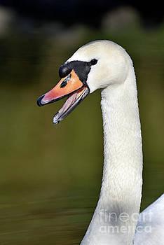 Mute swan by George Atsametakis