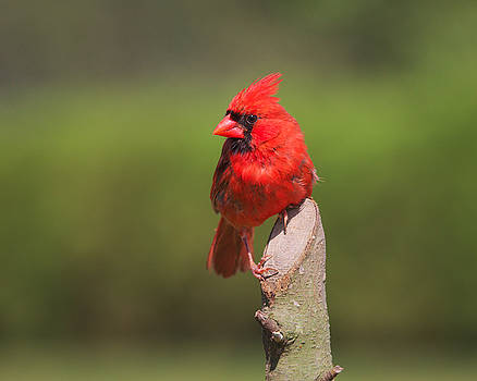 Northern Cardinal by Kimberly Kotzian